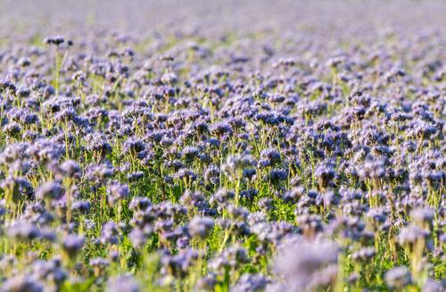 Uprawa, zastosowanie, pielęgnacja – co warto wiedzieć o facelii błękitnej?